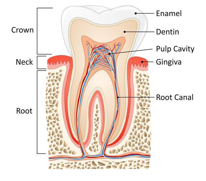 Diagram of a root canal | Burnaby BC Dentist