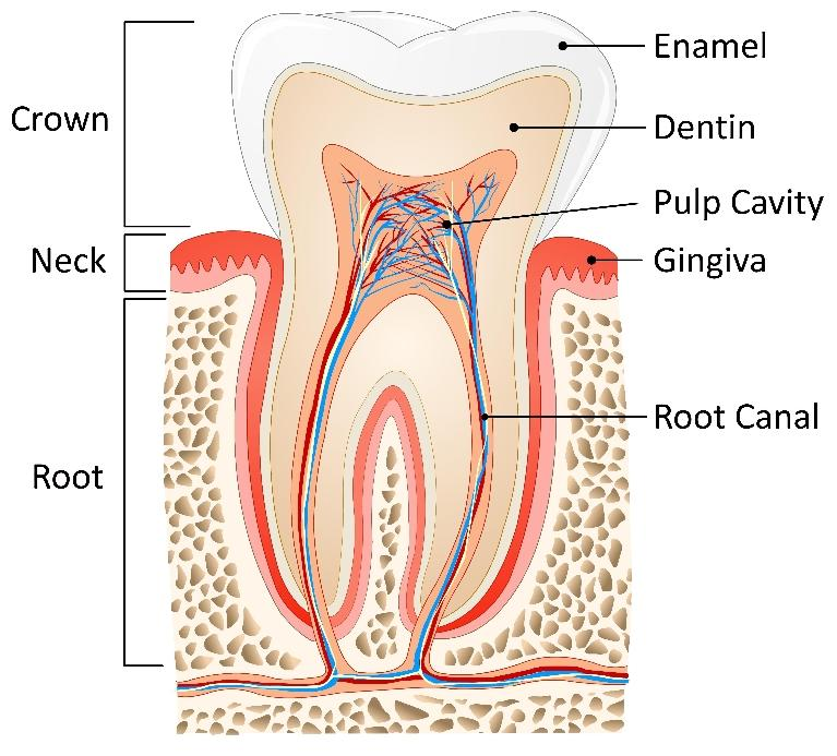 Diagram of Root Canal | Burnaby BC Dentist